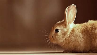 Down Lying Brown Rabbit Floor Animals Staring