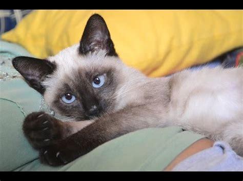 Funny! Super Cute Siamese Cat Youtube