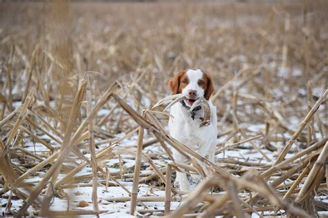 Shed Hunting Dog Training How To Train Your Dog To Shed Hunt Bone Collector