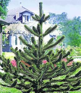 Baum Vorgarten Immergrün : affenschwanz baum immergr n auch im winter bei baldur ~ Michelbontemps.com Haus und Dekorationen