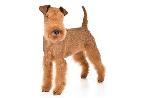 Lakeland Terrier Dog Breed Information