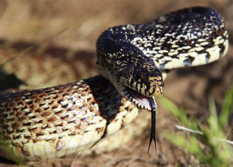Bull Snake In September