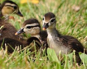 Baby Wood Ducks | Flickr - Photo Sharing!