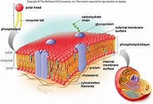 4 3 The Plasma Membrane