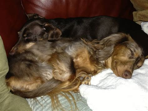 Our girls. Dogpile cuteness! | Dachshunds & More ...