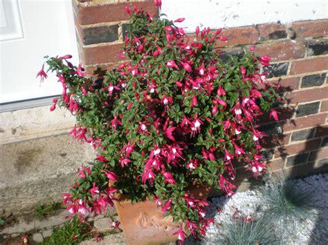 arbuste fleuri en pot 28 images acheter hibiscus pink pas cher au meilleur prix glycine