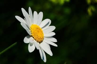 Daisy Flower Weneedfun Fun