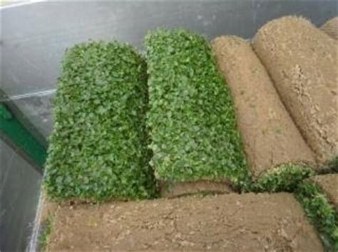 tappeto erboso a rotoli tappeto erboso rotoli prato