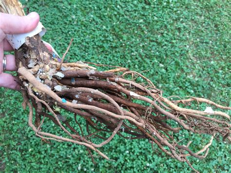 bare root plants  guide  bare root plant care