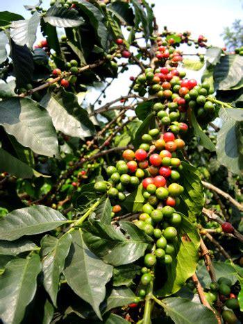 1.1 kirkland signature rwandan whole bean dark roast coffee, 3 pound. Coffees — Bourbon Coffee