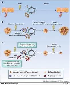 Molecular Pathways  Targeting Cancer Stem Cells Awakened