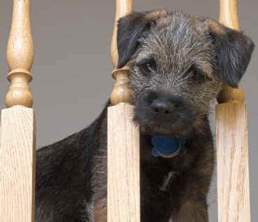 border terrier dog breed information guide with pictures
