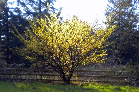 picture of witch hazel plant home remedies archives free spirit mind