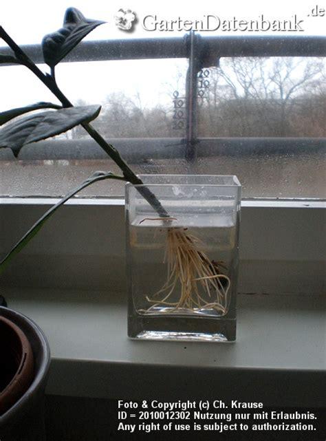 vermehrung kirschlorbeer kirschlorbeer stecklinge bewurzeln in wasser