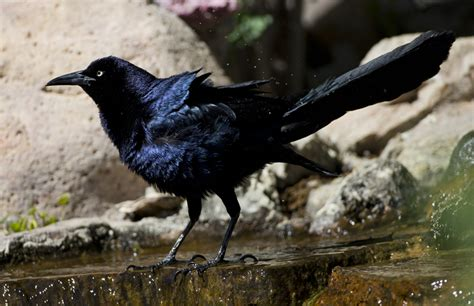 rodeo n m boat tail grackle the nature wildlife and