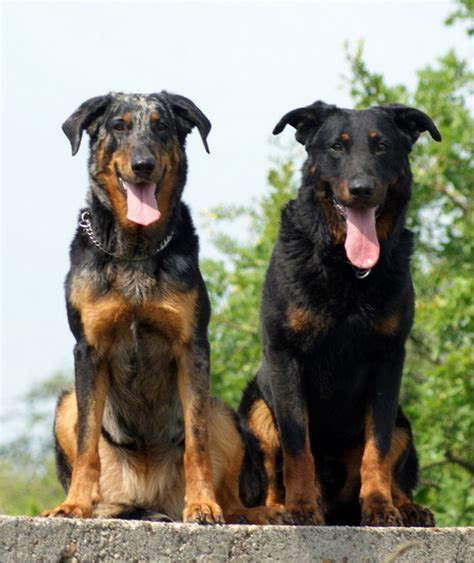 Beauceron Wikipedie