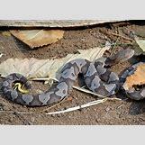 Juvenile Eastern Milk Snake | 1024 x 739 jpeg 291kB