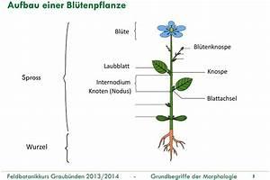 Aufbau Einer Blume : grundbegriffe der morphologie teile 1 und 2 pdf ~ Whattoseeinmadrid.com Haus und Dekorationen