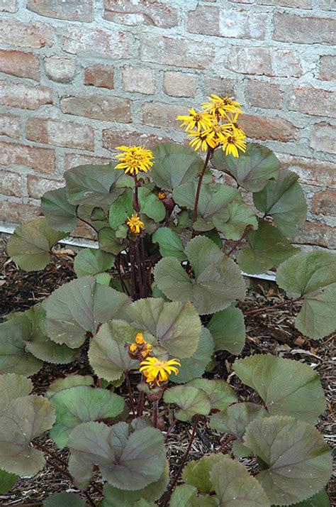 britt marie crawford rayflower ligularia dentata britt