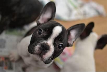 Bulldog French Bulldogs Wallpapers Rocks Cave Mydoggy