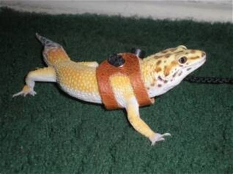 this is jack he is a leopard gecko but specifically a