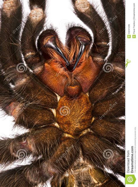 do tarantulas shed their fangs tarantula teeth stock photo image 53241439