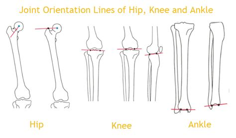 normal alignment   limb axes joint orientation