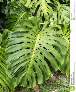 Plante Tropicale D Intérieur : plante tropicale image stock image du jungle florida 31492761 ~ Melissatoandfro.com Idées de Décoration
