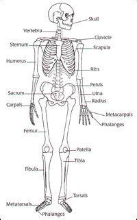 skeleton label worksheet  answer key anatomy