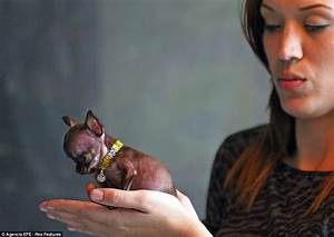 Take a bow-wow Milly the Chihuahua: Micro mutt that fits ...