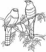 Coloring Bird Tropical Quetzal Drawings Drawing Pages Branch Birds Outline Line Trogons Island Realistic Quetzals Google Contour Print Sketch Printable sketch template