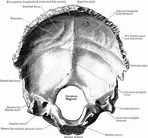 Inner Surface Of The Occipital Bone