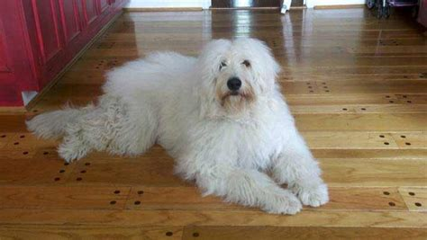 pyredoodle great pyrenees poodle mix info puppies