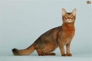 somali cats somali cat breed information buying advice photos and