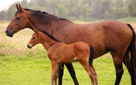 horse  foal wallpapers  images wallpapers