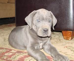 Blue Great Dane Puppy for Sale
