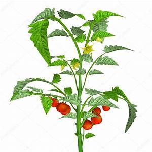 Plant Tomate Cerise : tomatenplant met tomaten stockfoto sciencepics 72992667 ~ Melissatoandfro.com Idées de Décoration