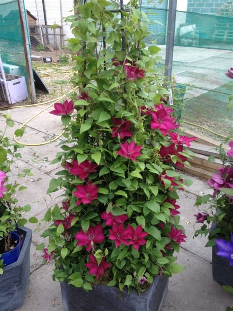 tips for growing clematis to beautify your outdoors