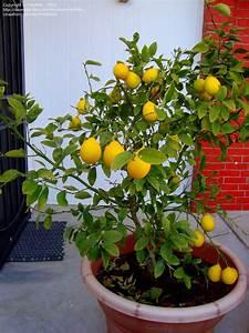 Rare  5  Seeds  Meyer Lemon Tree Garden Lemon Juicy Ship