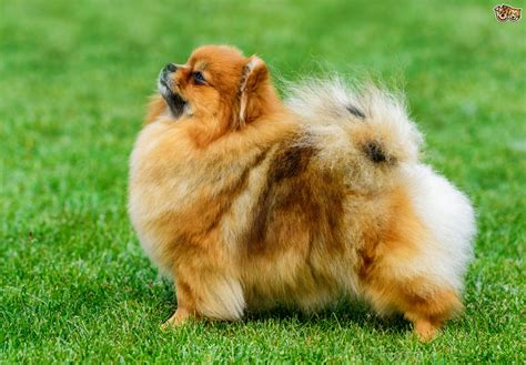 Pomeranian | Dog Breed Facts, Highlights & Advice | Pets4Homes