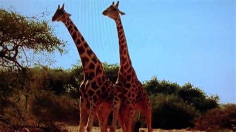 Giraffes fighting. - YouTube