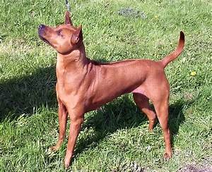 Pin Thai-ridgeback-colors-image-search-results on Pinterest