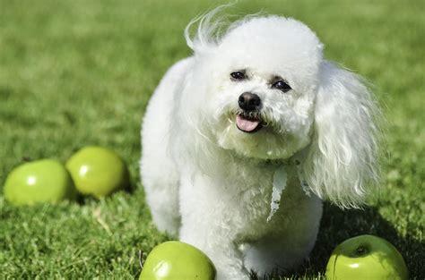 top  bichon frise haircut styles    dog people  rovercom