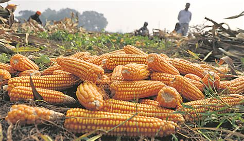 No help, growers forced to sell maize below MSP in Punjab ...