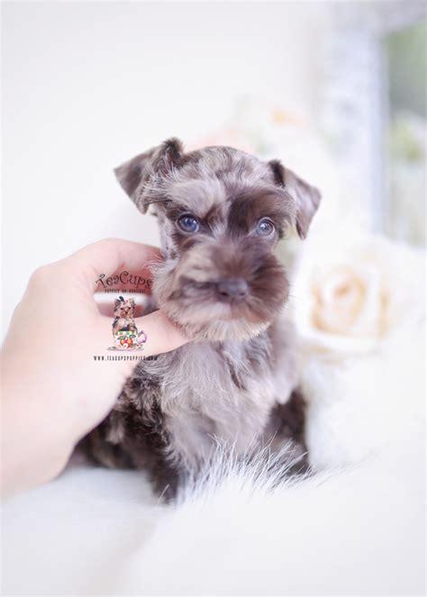 chocolate merle mini schnauzer teacup puppies boutique