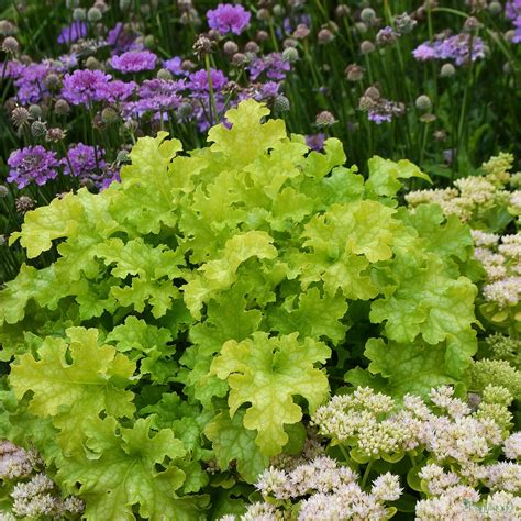 plants suitable for shade heuchera heucherella and tiarella x 6 mix all different suitable for shade from the chelsea