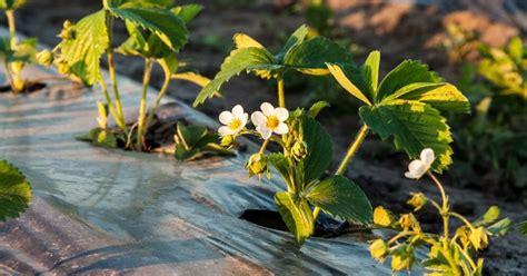 Šķirnes, stādīšana un kopšana - zemeņu audzēšanas ...