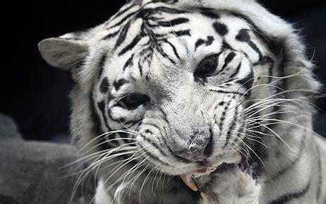white tiger killed  lions  czech zoo telegraph