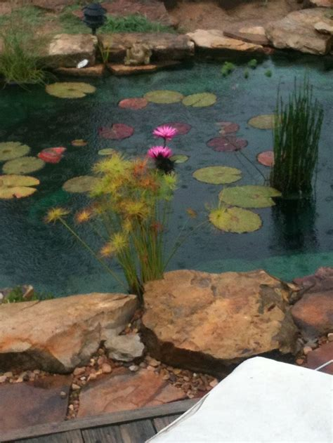 Garden Goldfish by 17 Best Images About Goldfish Ponds On Growing