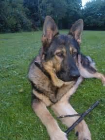 German Shepherd Puppy Adoption